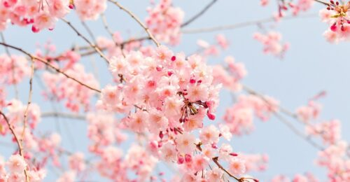 in primavera ciliegi